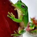 GemLife Bribie Island - Judy Moore-frog-WINNER