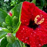 GemLife Bribie Island - RobynBell-Rain drenched Hibiscus