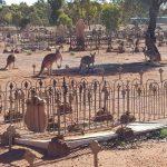GemLife Woodend - Ken Usher - Kangaroos at cemetery